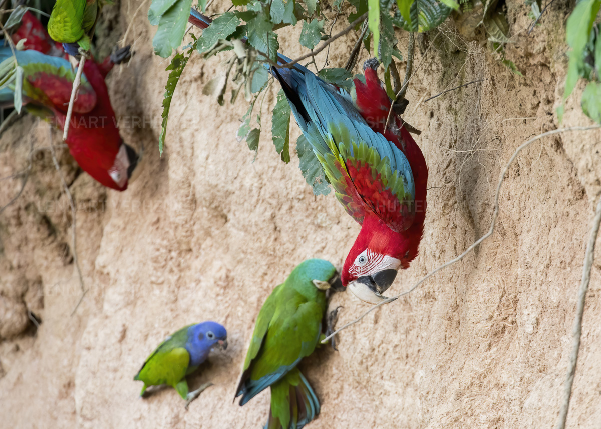 Red-and-green macaw / Groenvleugelara